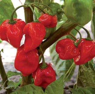 habanero-red-pepper.jpg