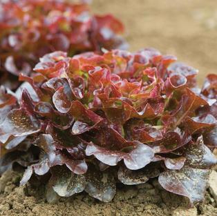 Salanova Red Oakleaf