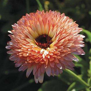 Calendula Strawberry Blonde