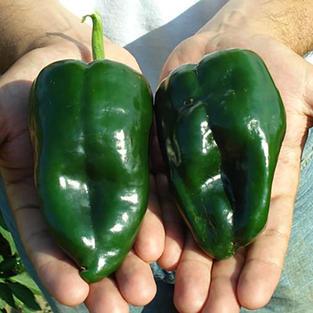 Pepper, Poblano.jpeg