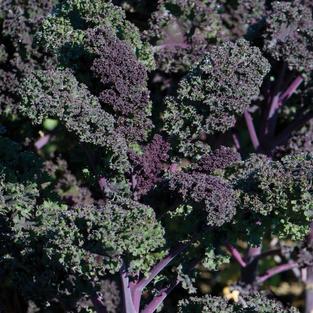 Kale Redbor