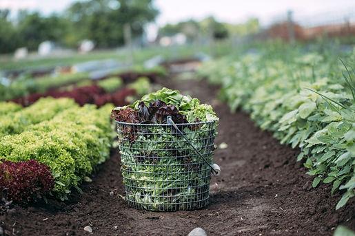 basket-of-lettuce.jpg