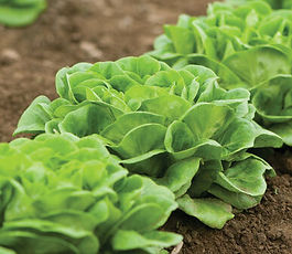 Main_Lettuce