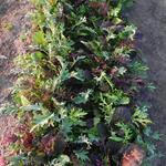 Brassica Mix, mild and wild