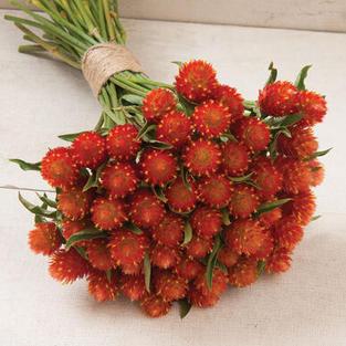 Gomphrena, Orange