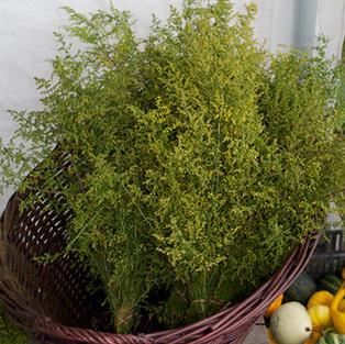 Artemisia Sweet Annie