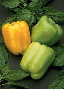 Pepper, Golden Summer.jpg