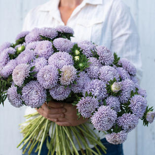 Aster Lady Coral Lavender
