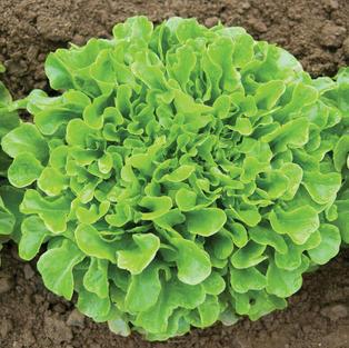 Salanova Green Oakleaf