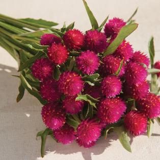 Gomphrena, Pink