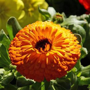 Calendula Maayan Orange
