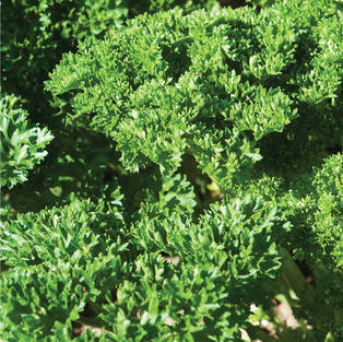 Parsely, Curly Leaf