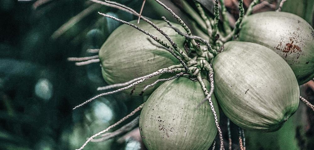 קוקוס, עץ קוקוס, עצי קוקוס, שמן קוקס, מקור הקוקס, קוקוס, אושרי בוזגלו