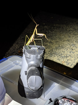 A preying mantis visits our field sampling table