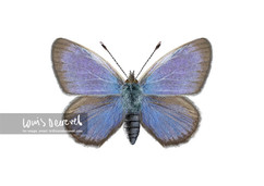 Common Grass-blue, Zizina Otis labradus