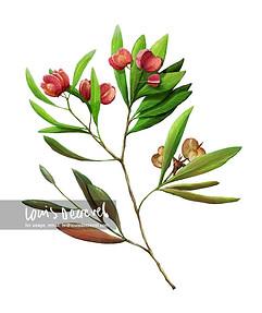 Sticky Hop Bush, Dodonaea viscosa