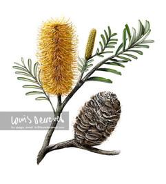 Silver Banksia, Banksia marginata