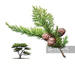 Monterey Cypress, Cupressus macrocarpa