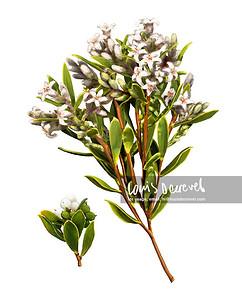 Coast Beard-heath, Leucopogon parviflorus