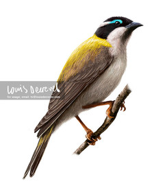 Black-chinned Honeyeater, Melithreptus gularis