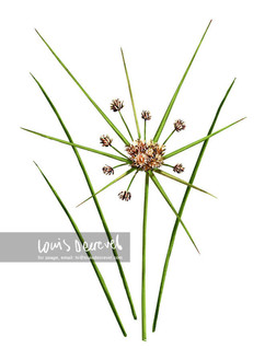 Stiff Flat-sedge, Cyperus vaginatus