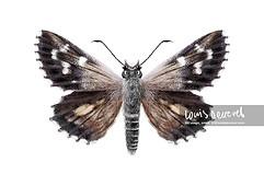 Black & White Skipper, Antipodia atralba