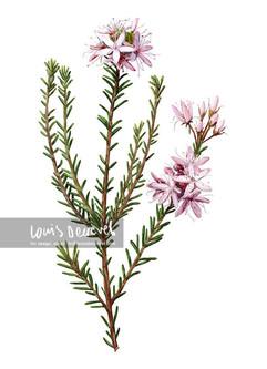 Common Fringe-myrtle, Calytrix tetragona