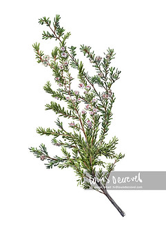 Woolly Tea-tree, Leptospermum lanigerum