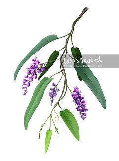 Native Lilac, Hardenbergia violacea