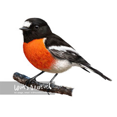 Scarlet Robin, Petroica boodang