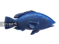 Western Blue Groper, Achoerodus gouldii