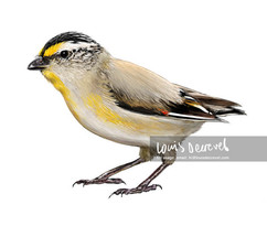 Striated Pardalote, Pardalotus striatus