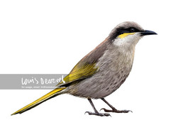 Singing Honeyeater, Lichenostomus virescens