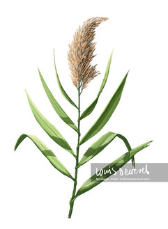 Common Reed, Phragmites australis