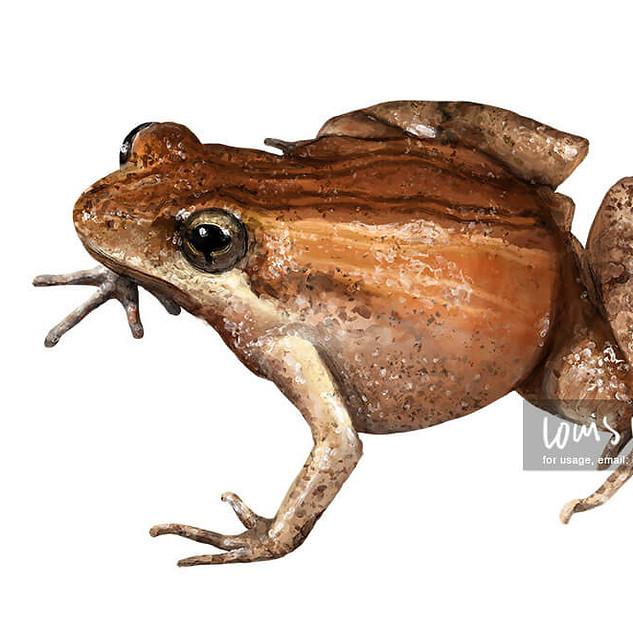 Common Eastern Froglet, Crinia signifera