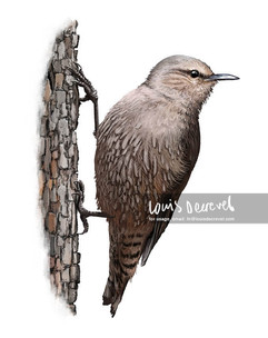 Brown Tree Creeper, Climacteris picumnus