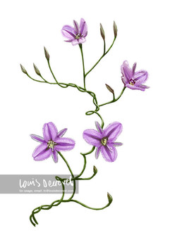 Twining Fringe-lily, Thysanotus patersonii