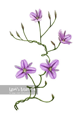 Twining Fringe-lily, Thysanotus patersonii