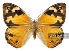 Common Brown, Heteronympha merope merope