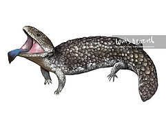 Tiliqua rugosa, Shingleback Lizard