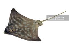 Southern Eagle Ray, Myliobatis goodei