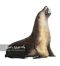 Australian Sea Lion, Neophoca cinerea