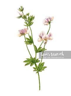 Austral trefoil, Lotus australis