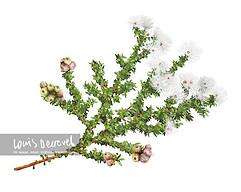 Muntries—Native cranberry, Kunzea pomifera