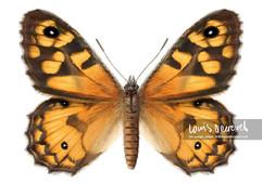 Marbled Xenica, Geitoneura klugii