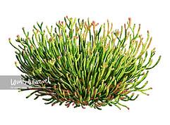 Bearded Glasswort, Sarcocornia quinqueflora