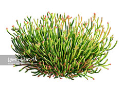 Bearded Glasswort, Sarcocornia quinqueflora