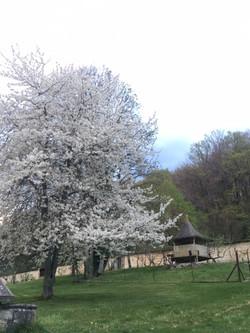 Cerisier en fleurs dans le jardin-verger de Lavaux
