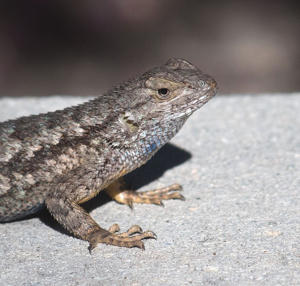 Binocular closeup of Western Fence Lizard