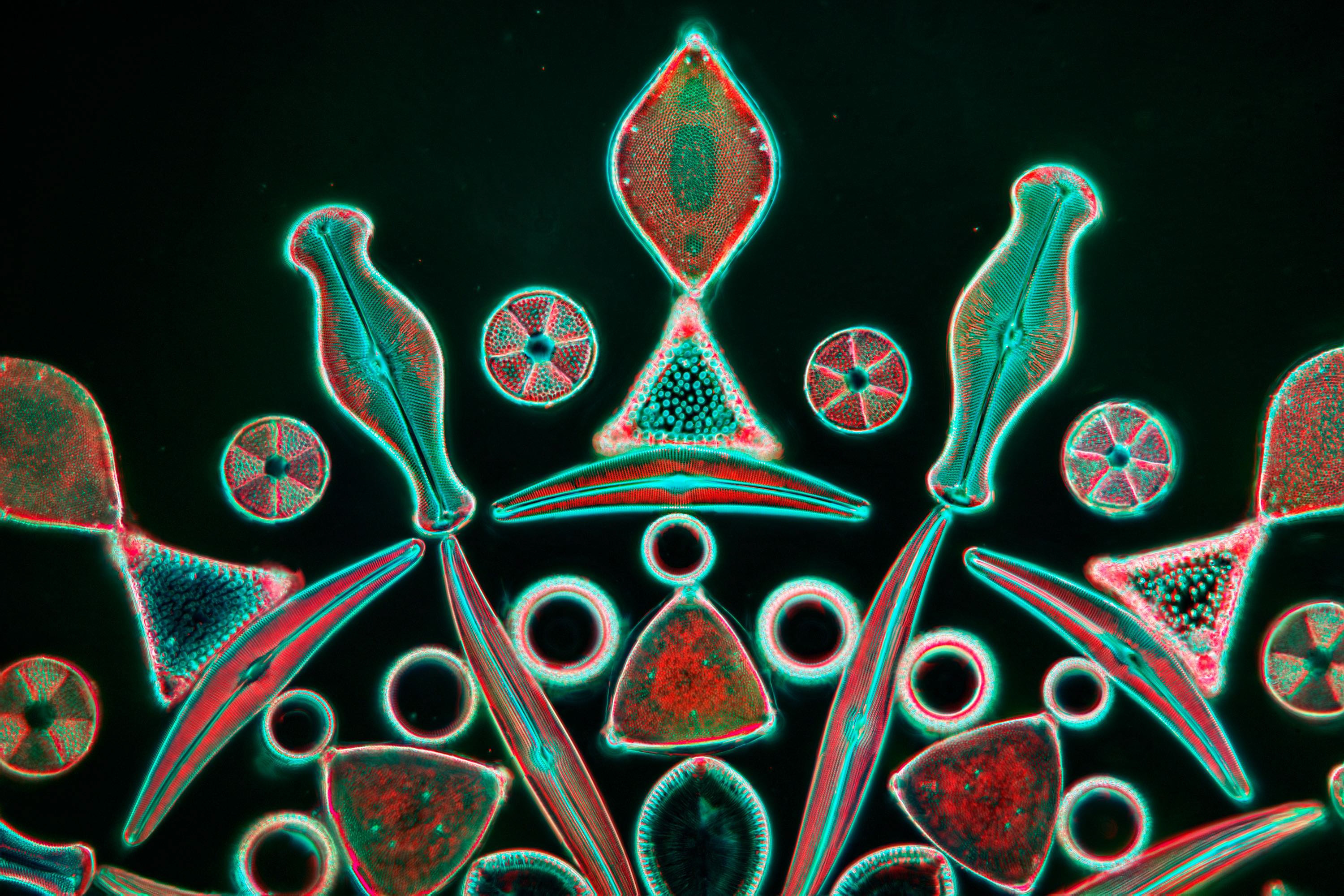 Arranged diatom